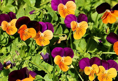 Photograph - Petite Pansies by Sheila Brown