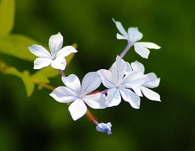 Photograph - Petite Plumbago Blossoms by Richard Stephen