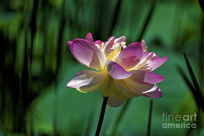 Photograph - Petty Pink Lotus by Paul Mashburn