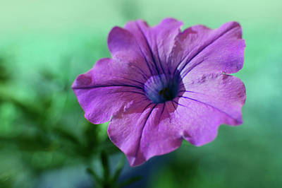 Photograph - Petunia by Adria Trail