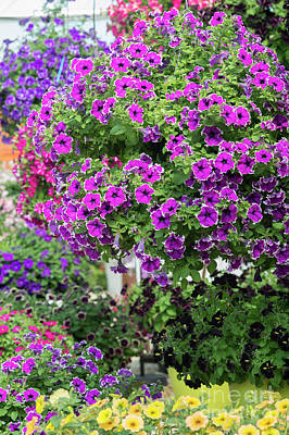 Photograph - Petunia Corona Amethyst Flowers by Tim Gainey