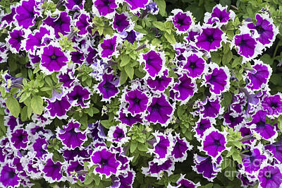 Amethyst Photograph - Petunia Corona Amethyst by Tim Gainey