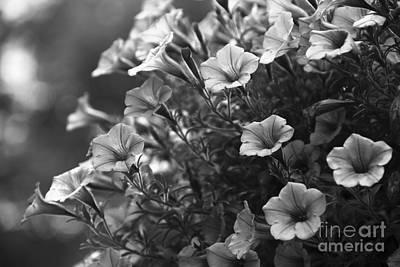 Petunias 2 Black And White Art Print