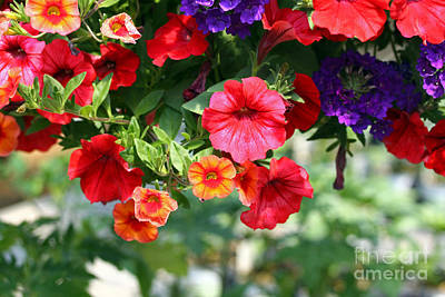 Photograph - Petunias by Denise Pohl