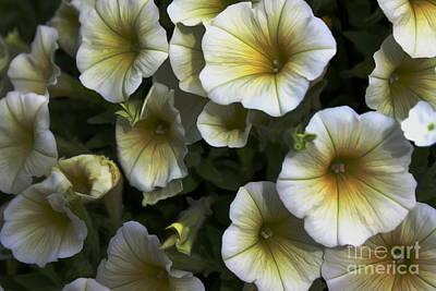 Photograph - Petunias by Erica Hanel