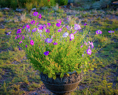Photograph - Petunias Golden Hour by John Brink