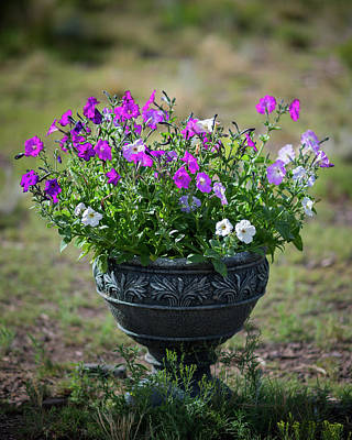 Photograph - Petunias In The Chico by John Brink
