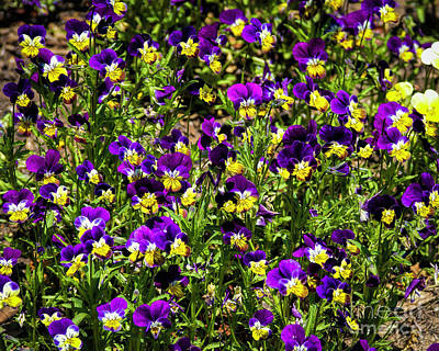 Photograph - Pansies by Jon Burch Photography