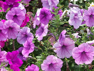 Photograph - Petunias by Kevin Croitz