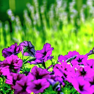 Photograph - Petunias Lavender Background by Jerry Sodorff