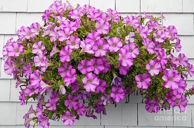 Hanging Basket Photograph - Petunias On White Wall by Elena Elisseeva