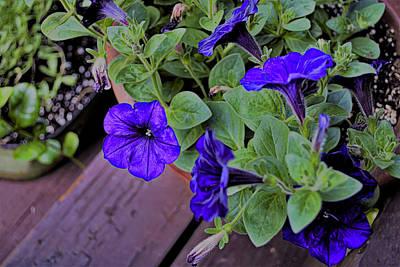 Photograph - Petunias Purple by Larry Bishop