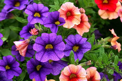 Photograph - Petunias by Terry Burgess
