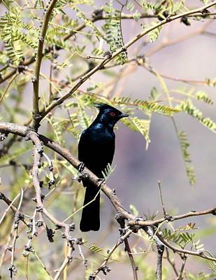 Photograph - Phainopepla Black Cardinal by David Dunham
