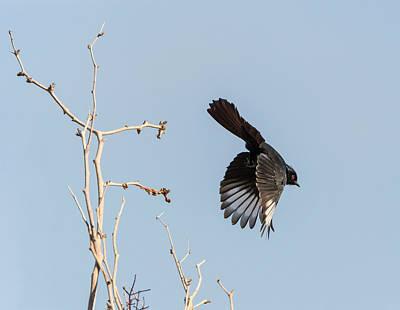 Photograph - Phainopepla Takes Flight by Loree Johnson