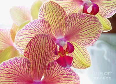 Phalaenopsis Art Print by Addie Hocynec