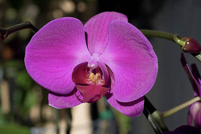 Photograph - Orchid 20 by Andy Shomock