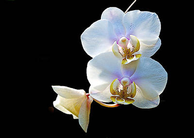 Photograph - Phalaenopsis Culican #1 Nobby's Amy Shin Hua by Don Mercer
