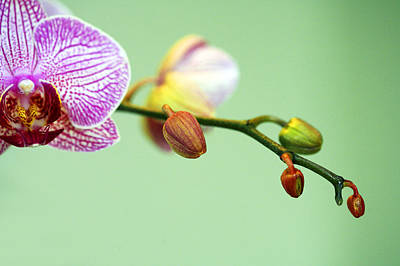 Photograph - Phalaenopsis by Marilyn Hunt