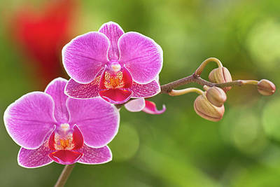 Pink Flower Photograph - Phalaenopsis by MaViLa