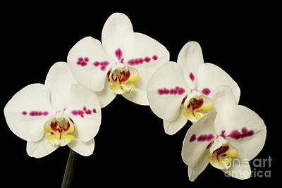 Petals Photograph - Phalaenopsis Moth Orchids by Judy Whitton