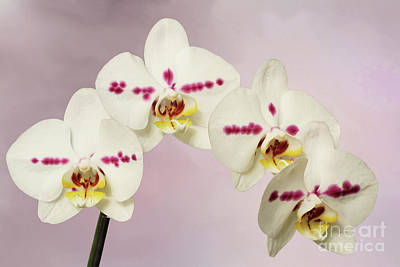 Photograph - Phalaenopsis Moth Orchids V2 by Judy Whitton