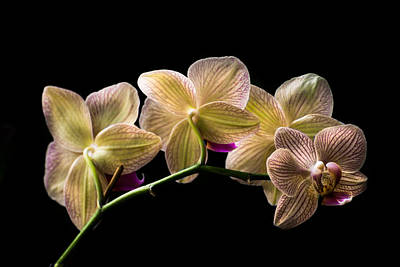 Orchid Photograph - Phalaenopsis Nivacolor  by Zina Stromberg