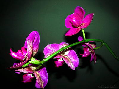 Photograph - Phalaenopsis Orchid Blooms by Joyce Dickens