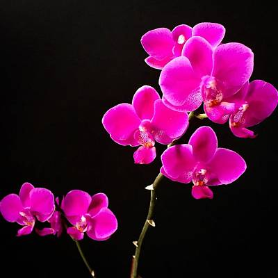 Photograph - Phalaenopsis Orchid - Fuchsia by Cristina Stefan