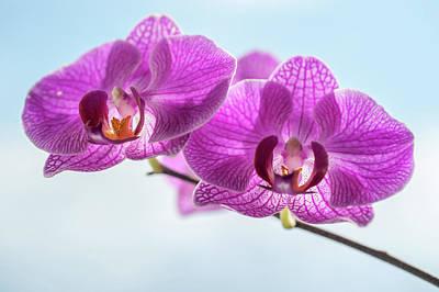 Photograph - Phalaenopsis Orchid  by Jenny Rainbow