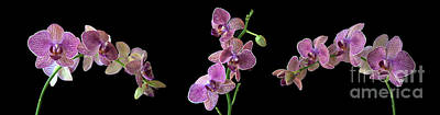 Photograph - Phalaenopsis Orchid by Ted Lang