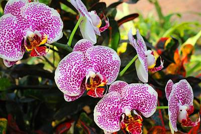 Photograph - Phalaenopsis Orchids 1 by Kathryn Meyer