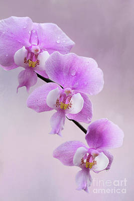 Photograph - Phalaenopsis Schilleriana Fragrant Butterfly Orchid V2 by Judy Whitton
