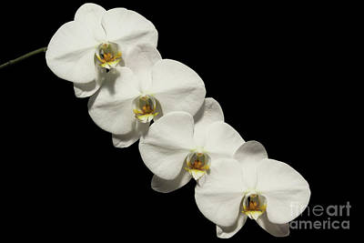 Tropical Photograph - Phalaenopsis White Dream #3 by Judy Whitton