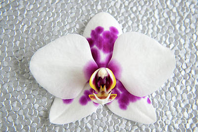 Photograph - Phalaenopsis Yu Pin Panda  by Julia Hiebaum