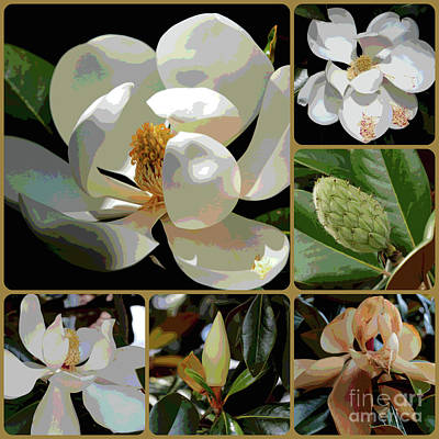 Photograph - Phases Of Magnolia Grandiflora by Carol Groenen