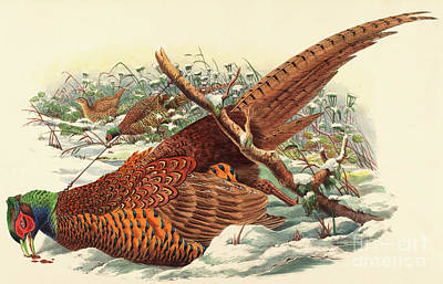 Wintry Drawing - Phasianus Colchicus, Ring Necked Pheasant by John Gould