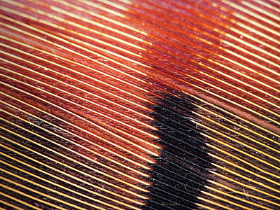 Photograph - Pheasant Feather by Wim Lanclus