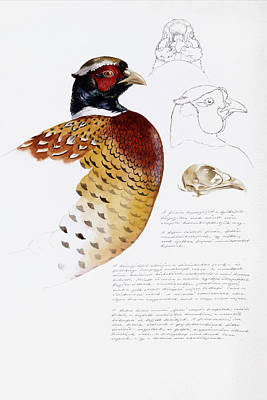Painting - Pheasant Head Studies by Attila Meszlenyi