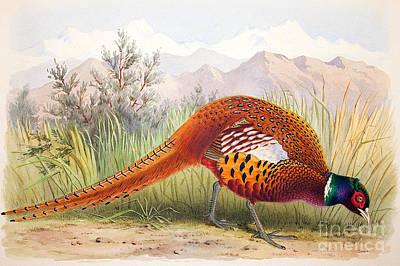 Pheasant Painting - Pheasant by Henry Jones