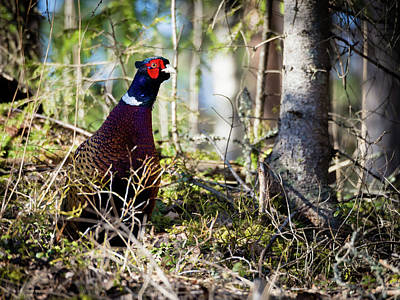 Photograph - Pheasant In The Forest by Teemu Tretjakov