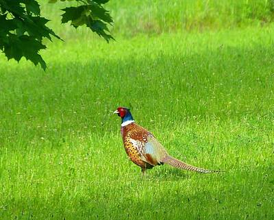 Photograph - Pheasant In The Pasture by Will Borden
