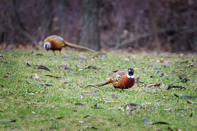 Photograph - Pheasant Pair by Steven Santamour