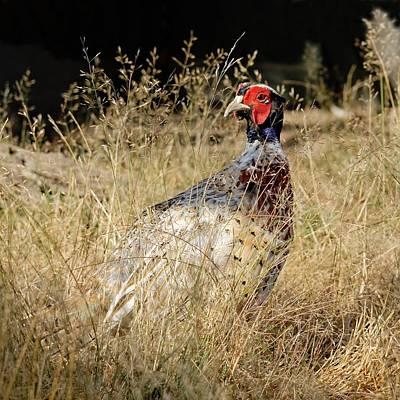 Photograph - Pheasant Under Grass by KJ Swan