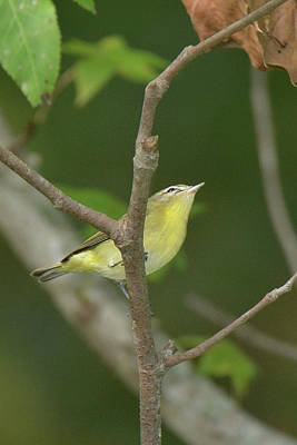 Photograph - Philadelphia Vireo by Alan Lenk