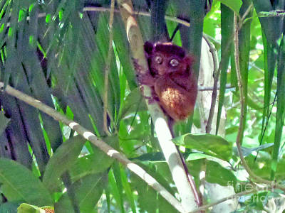 Photograph - Philippine Tarsier by Kay Novy