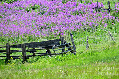 Photograph - Phlox And Fence by Frank Townsley