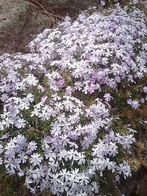 Phlox Blue Lilac Art Print