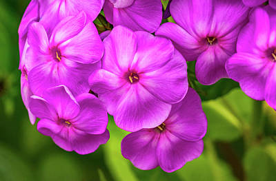 Royalty-Free and Rights-Managed Images - Phlox Flock 2 by Steve Harrington