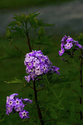 Photograph - Phlox Flowers by Sherman Perry